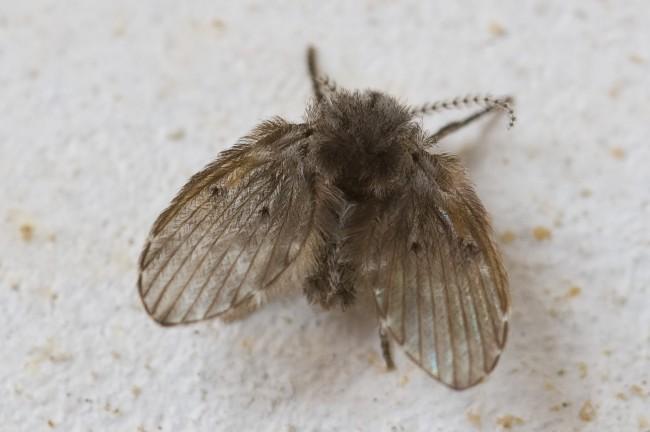 蛾蚋防治|廁所小飛蟲-蛾蚋