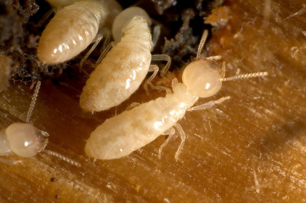 白蟻蟻の習性
