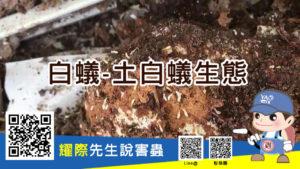 什麼是土棲白蟻?來看看龐大數量體積小的白蟻喔!
