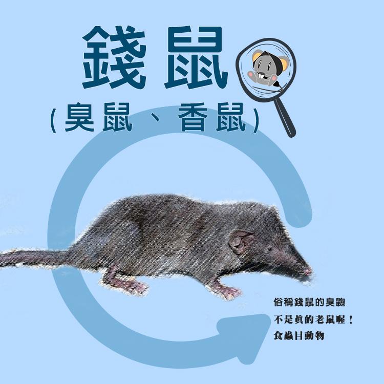 錢鼠不是鼠,耀際先生說老鼠