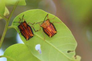 看到這種昆蟲別去碰!被荔枝椿象噴到皮膚會潰爛疼痛