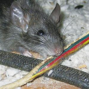 老鼠咬電線