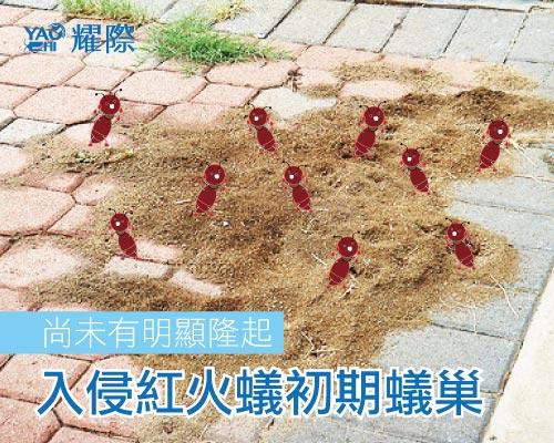 紅火蟻防治插圖05入侵紅火蟻初期蟻巢web2