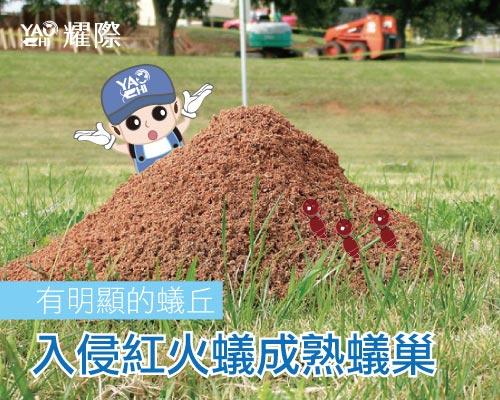 紅火蟻防治插圖06入侵紅火蟻成熟蟻巢web2