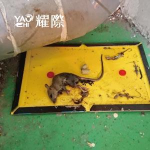 黏鼠板可偵測鼠害數量