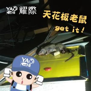台中滅鼠專業團隊03住家天花板老鼠抓捕