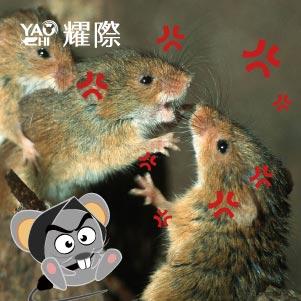 如何判斷家裡有老鼠03老鼠吵架爭地盤