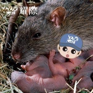 如何判斷家裡有老鼠03老鼠在家裡繁衍