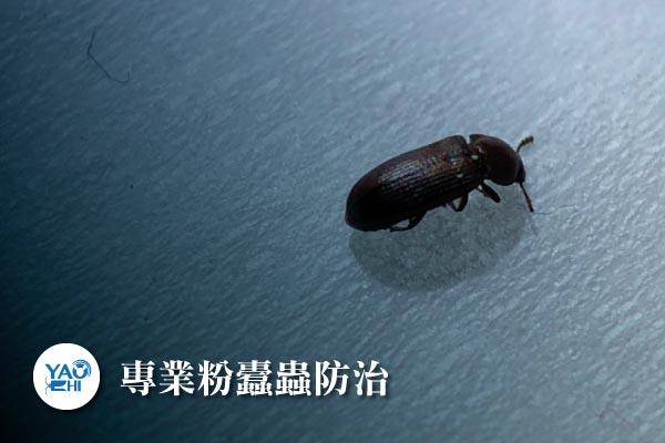 粉蠹蟲防治介紹-專業粉蠹蟲防治1