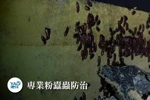 粉蠹蟲防治介紹-專業粉蠹蟲防治4