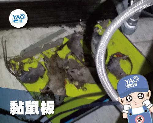 家裡有老鼠:鼠害的危害進程01黏鼠板