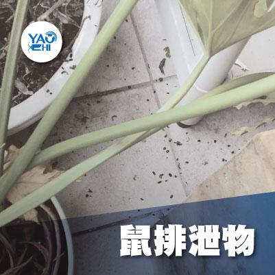 家裡有老鼠:鼠害的危害進程04陽台老鼠大便