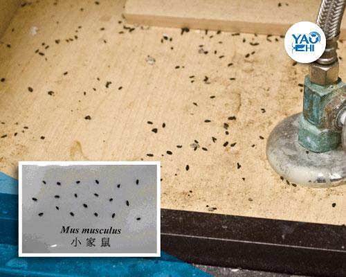 家裡有老鼠:鼠害的判斷與分析04小家鼠糞便解析