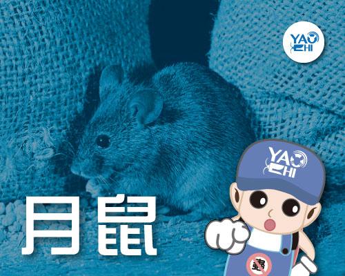 家裡有老鼠:鼠害的判斷與分析04月鼠大便