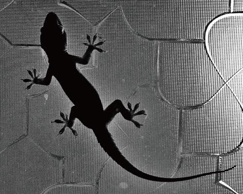 家裡有老鼠:鼠害的判斷與分析05壁虎大便長這樣